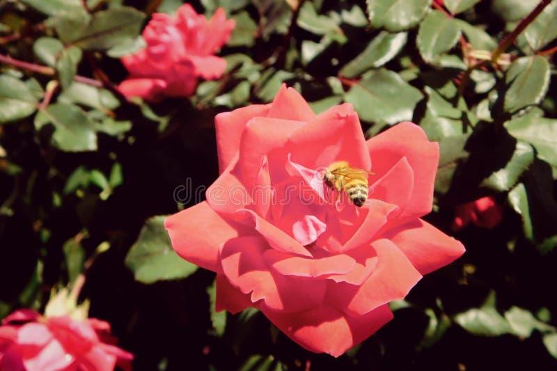 Honeybee in a Rose Garden in Colorado stock images