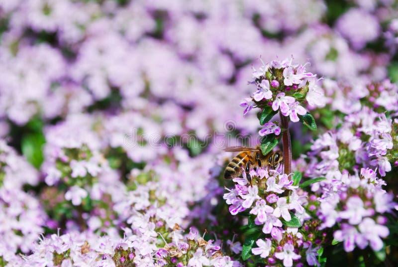 Honeybee on spring thyme flowers stock images
