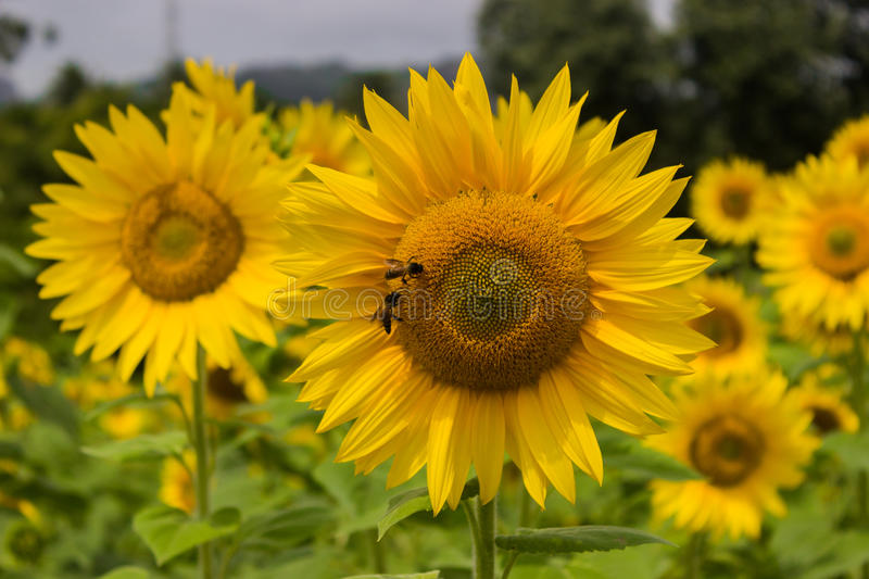 Honeybee and sunflower. Sunflower at a farm in India. Canon 6D 50mm f4.0 ISO 400 1/2000 royalty free stock photography