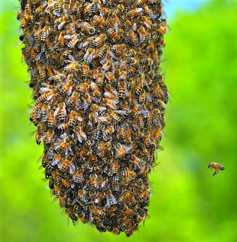 Free Honeybee Swarm Royalty Free Stock Photography - 23489447