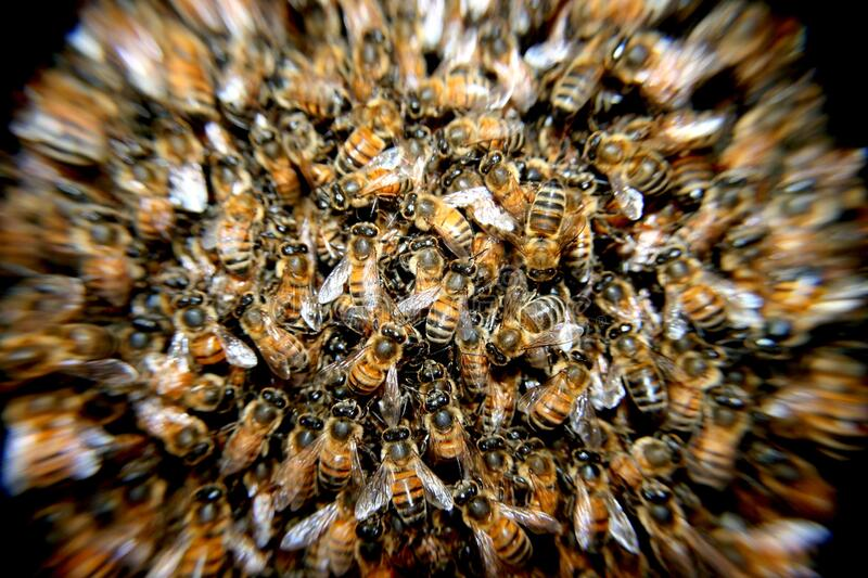Honeybee swarm royalty free stock photography