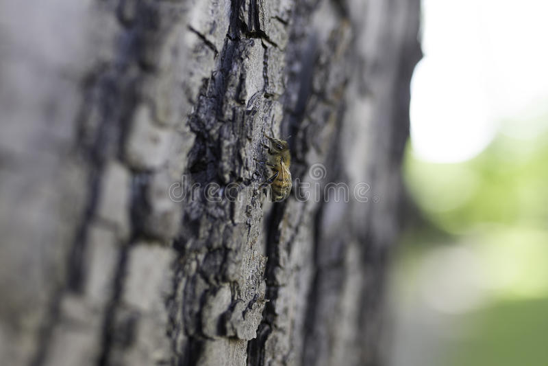 Honeybee and the Tree 2 stock photo