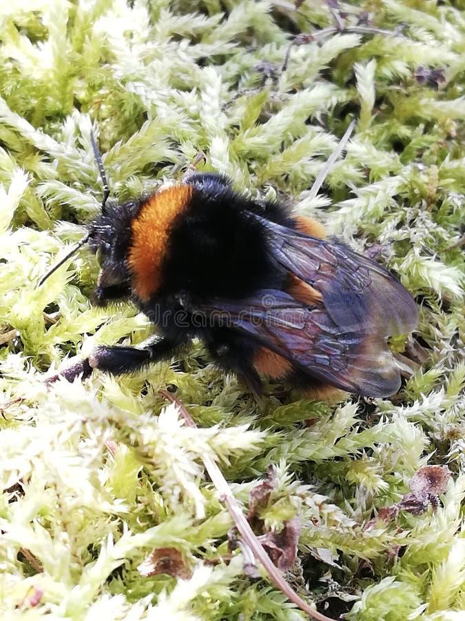 honeybee royalty-vrije stock foto