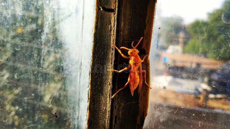 Honeybee Wyłania się od ciemności fotografia stock