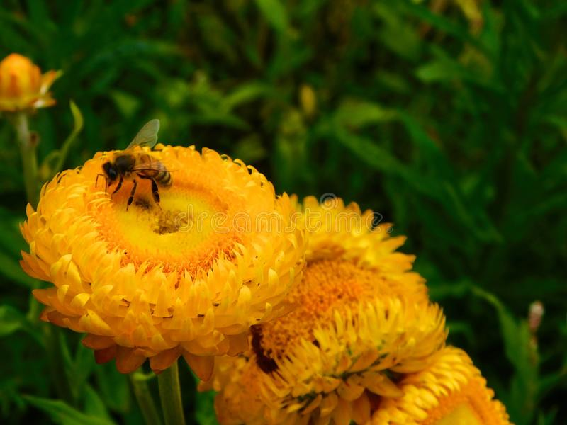 Honeybee among yellow flowers stock image
