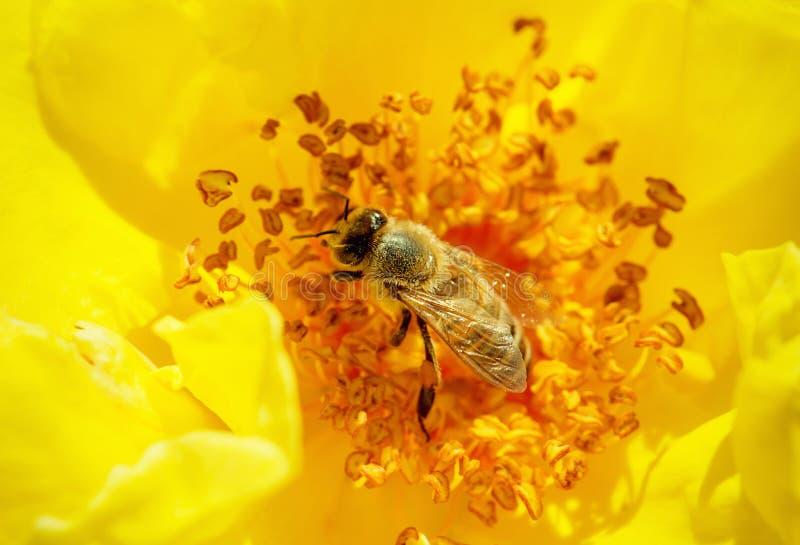 Honeybee zapyla kolor żółty róży fotografia stock