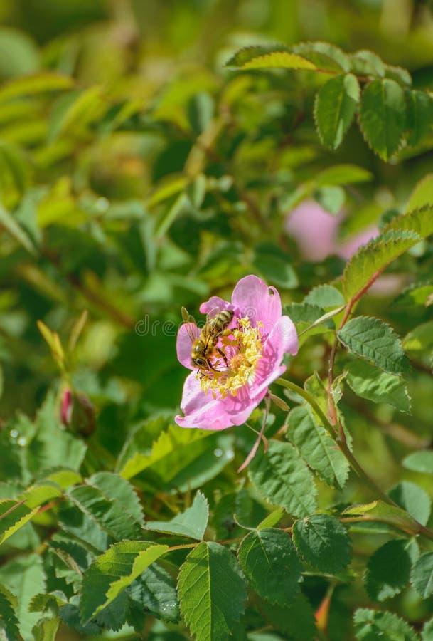 Honeybee zbieracki nektar i zapyla? dzikie menchie Nootka Wzrastali?my, Rosa nutkana, kwiatu krzak, kolumbia brytyjska, Kanada zdjęcie stock