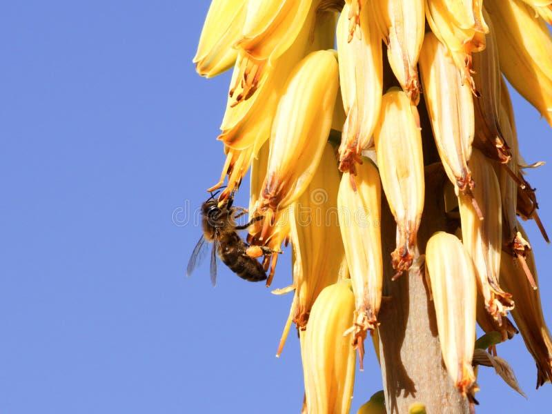 Honeybee zbieracki nektar na żółtym kwiacie zdjęcia stock