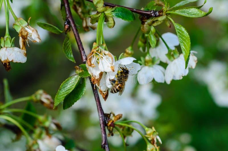 Honeybee zbieracki nektar od kwiat?w czere?niowy drzewo fotografia royalty free