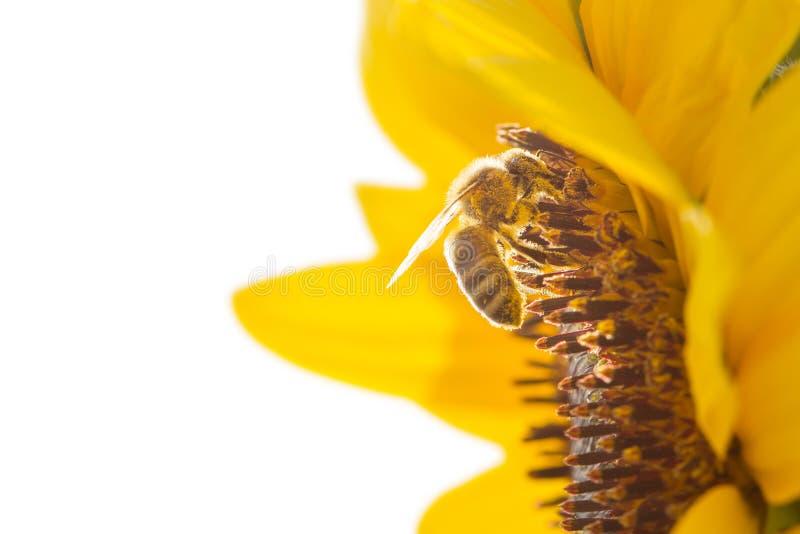 Honeybee zbieracki nektar od pięknego żółtego słonecznika odizolowywającego na białym tle Ekologia, środowisko i ogrodnictwo, obraz royalty free