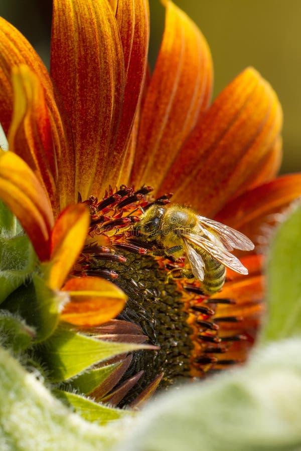 Honeybee zbieracki nektar od pi?knego ? obrazy royalty free
