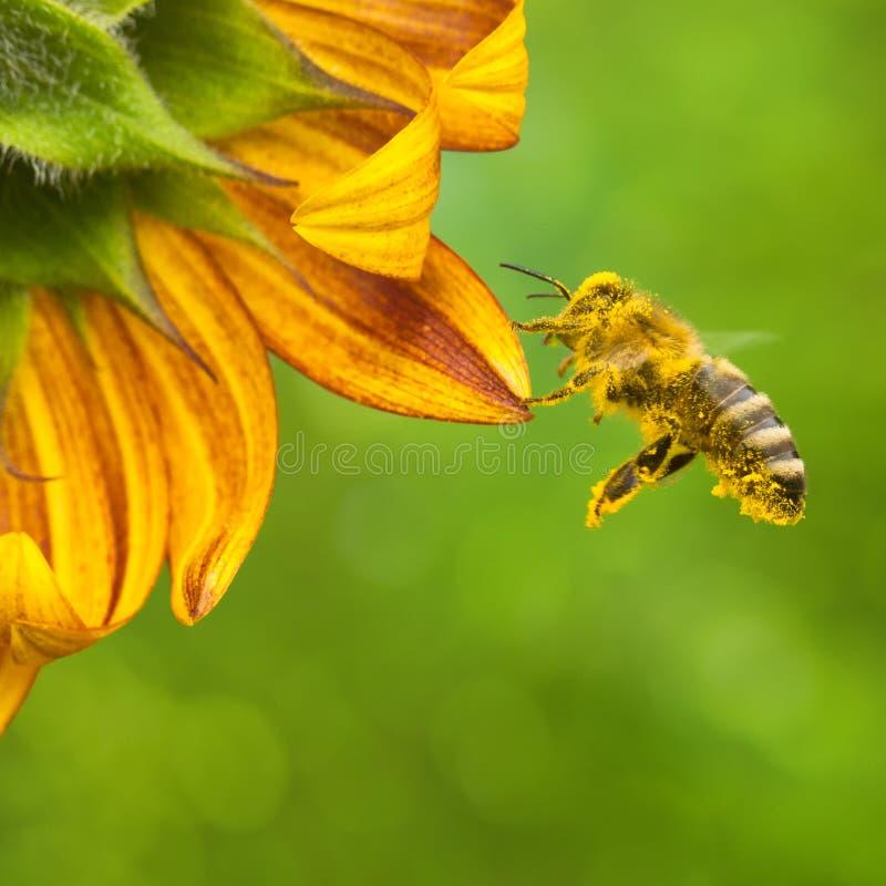 Honeybee zbieracki nektar od pi?knego ? zdjęcia royalty free