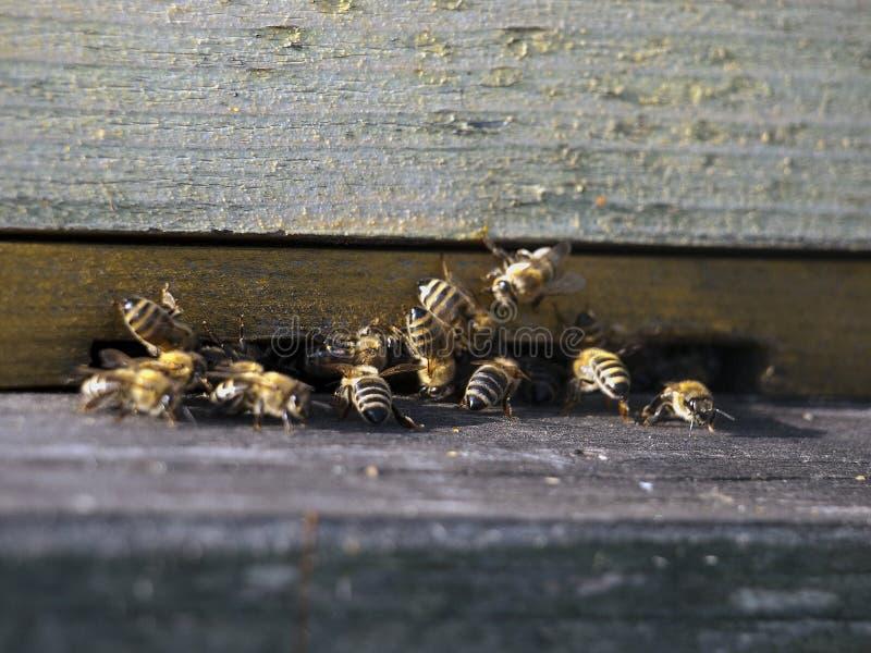 honeybees крапивницы деревянные стоковые фотографии rf