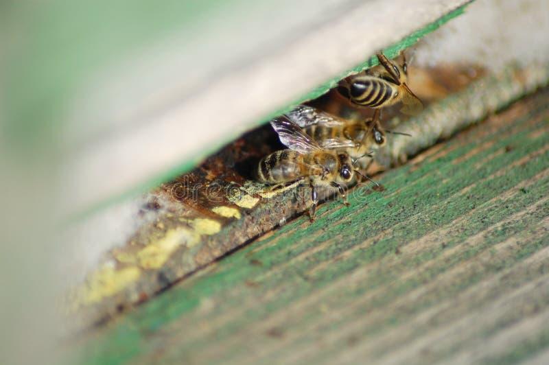 Honeybees royalty free stock image