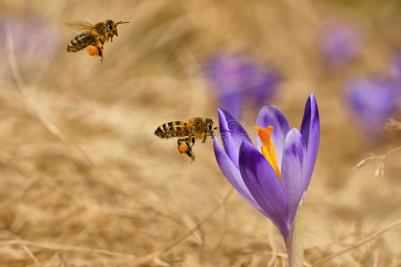Download Honeybees Apis Mellifera, Bees Flying Over The Crocuses In The Spring Stock Image - Image of horizontal, meadow: 85485633