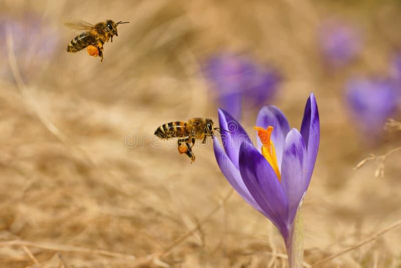 Honeybees Apis mellifera, pszczoły lata nad krokusami w wiośnie zdjęcia stock