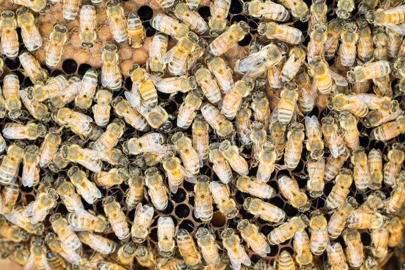 Honeybees na wylęg grępli tle zdjęcie royalty free