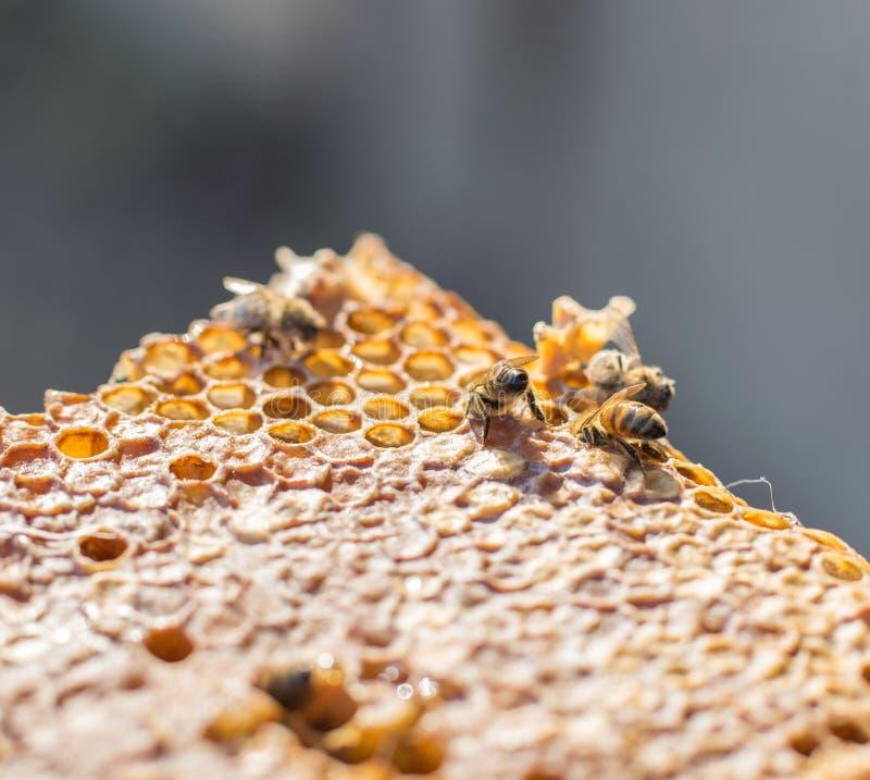 接近的观点的在honeycells的工作的蜂 库存图片