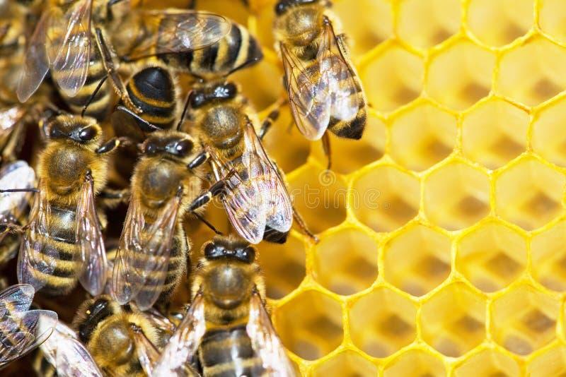 honeycells pszczół zdjęcia royalty free