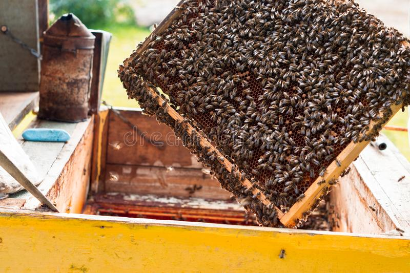 Honeycom with bees, beekeeper looks after bees in the garden stock photos
