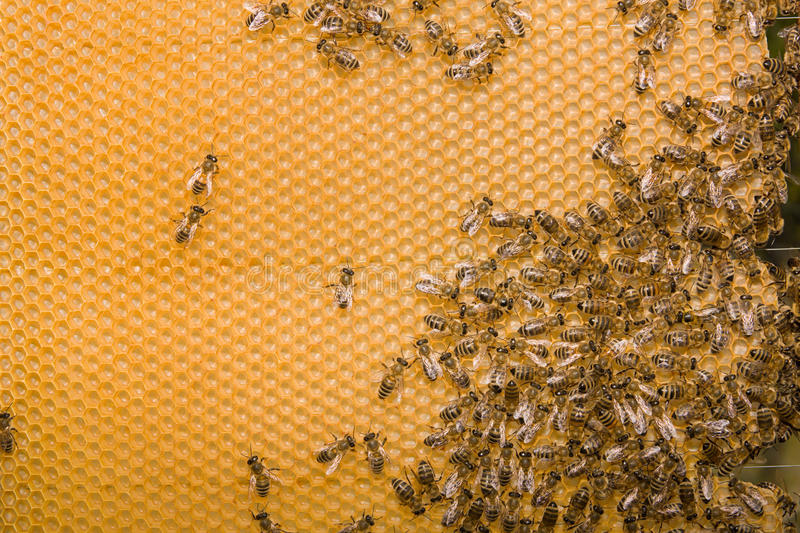 Honeycomb. With bees. Empty honeycells. More beekeeping and honey stock photo