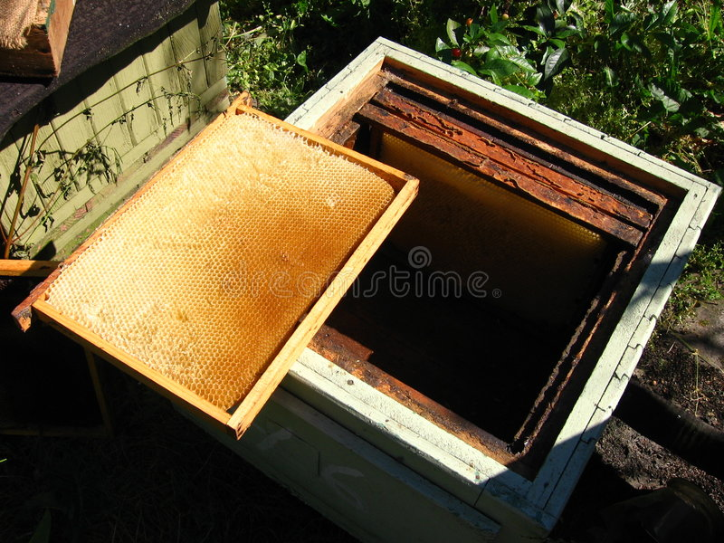 Honeycomb. With a wooden frame in beehive royalty free stock photo