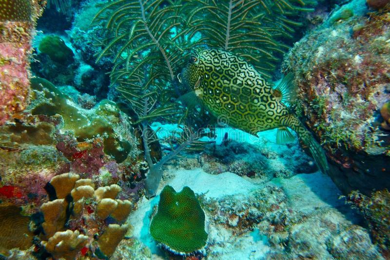 Honeycomb cowfish obrazy stock