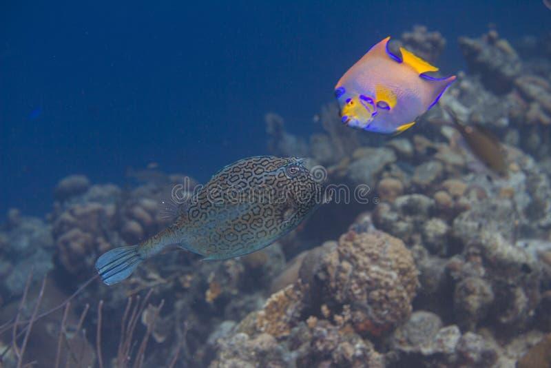 Honeycomb Cowfish and Queen Angelfish stock image
