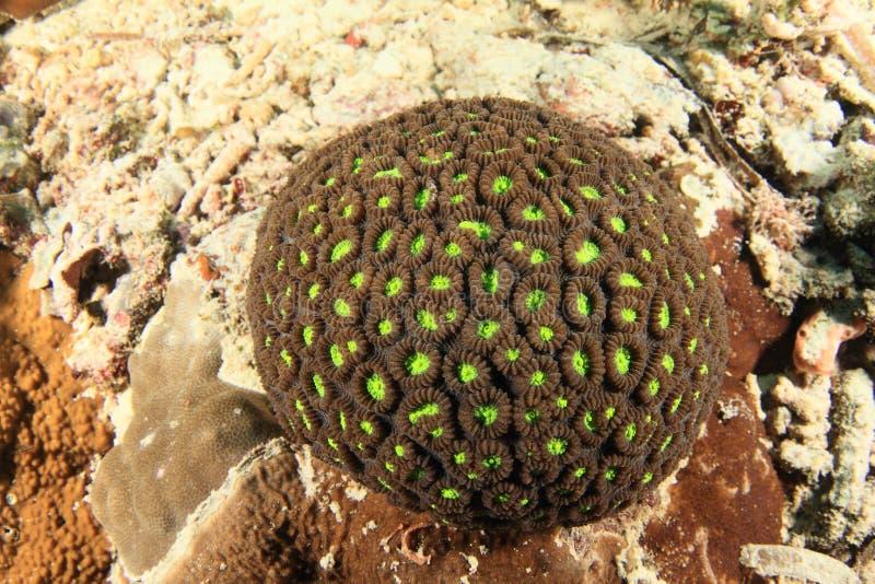 Honeycomb koral zdjęcie royalty free