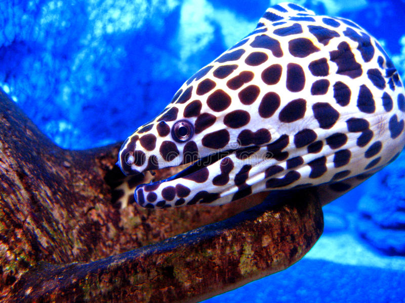 Download Honeycomb Moray Eel stock image. Image of giant, depth - 13713533