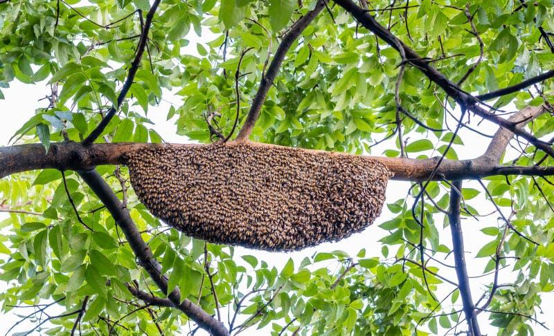 Honeycomb przylega na gałąź mahoń w naturze obrazy royalty free