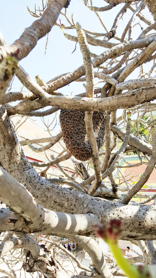 Honeycomb and swarm of bees on a tree branch. Close up of honeycomb and bees hanging on tree branch royalty free stock photo