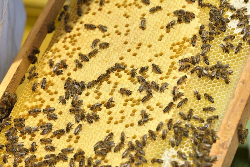 Honeycombs with bees. Close up. stock photos