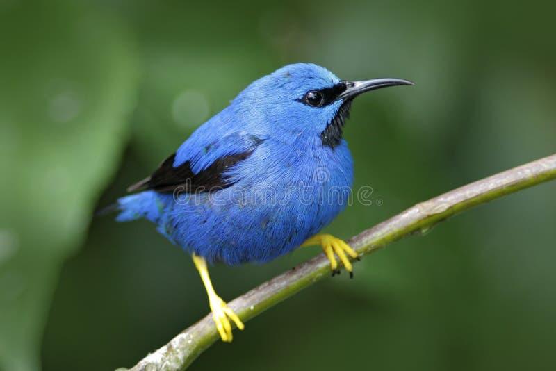Honeycreeper de brilho, lucidus de Cyanerpes, pássaro azul tropico exótico com formulário amarelo Panamá do pé imagens de stock