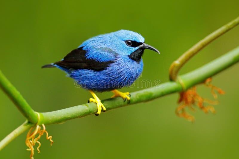 Honeycreeper de brilho, lucidus de Cyanerpes, tanager azul tropico exótico com pé amarelo, Costa Rica Aves canoras azuis no hábit fotos de stock royalty free