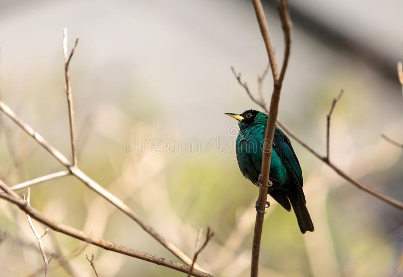 Download Honeycreeper Vert Scientifiquement Connu Sous Le Nom De Spiza De Chlorophanes Image stock - Image du forêt, aile: 87701831