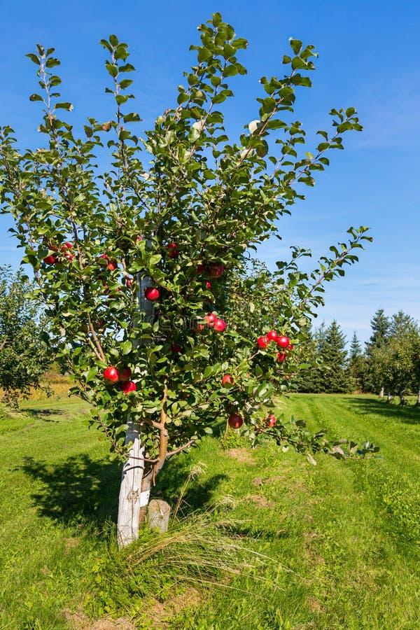 Honeycrisp äppleträd royaltyfri fotografi