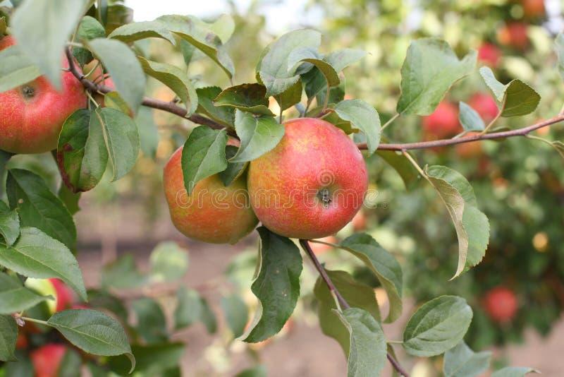 Honeycrisp rojo de las manzanas en rama del manzano imagenes de archivo