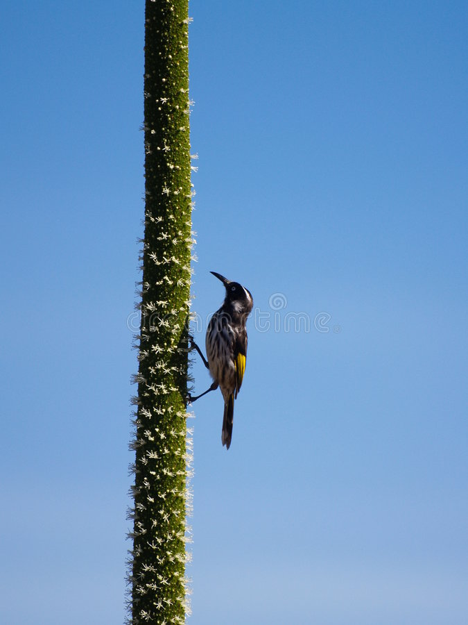 Free Honeyeater On A Grass Tree Flower Spike Royalty Free Stock Images - 8942339