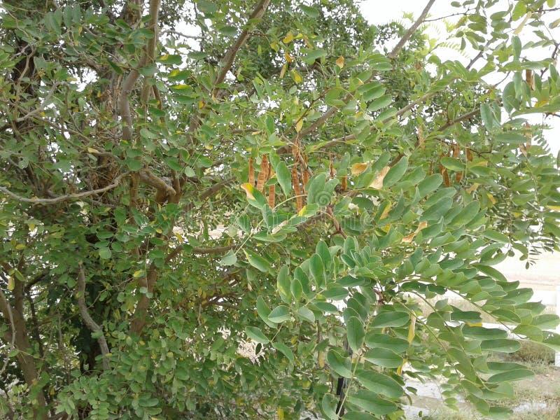 Honeylocust-Baum mit Samenhülsen stockbild