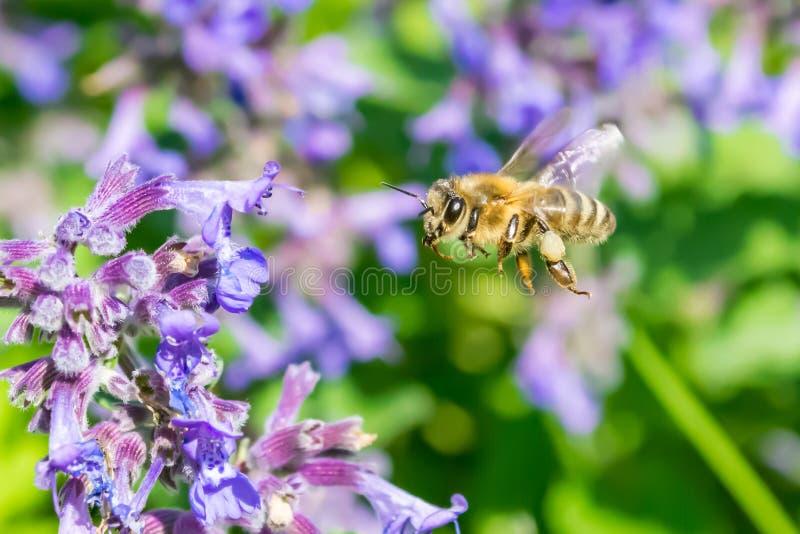 Honeymaker obraz royalty free