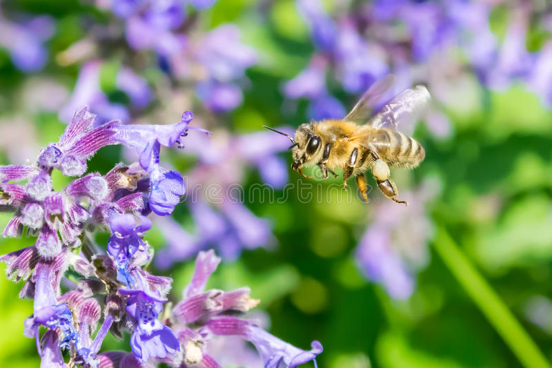 Honeymaker royalty free stock image