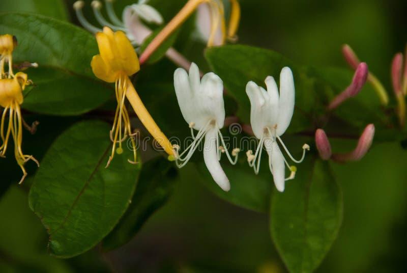 Honeysuckel -金,白色和紫色芽 免版税库存照片