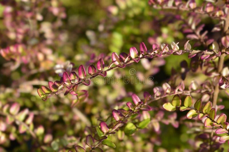 3 x Lonicera nitida Baggesens Gold Plants in 7 cm square pots evergreen hedging