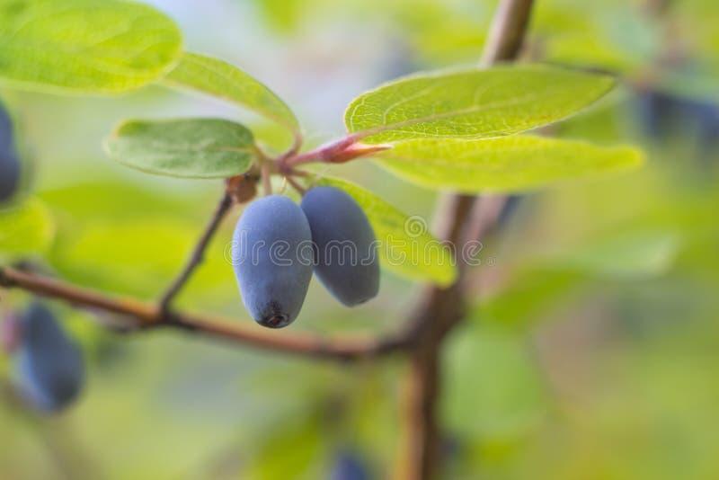 Honeysuckle Berries fotografia stock libera da diritti