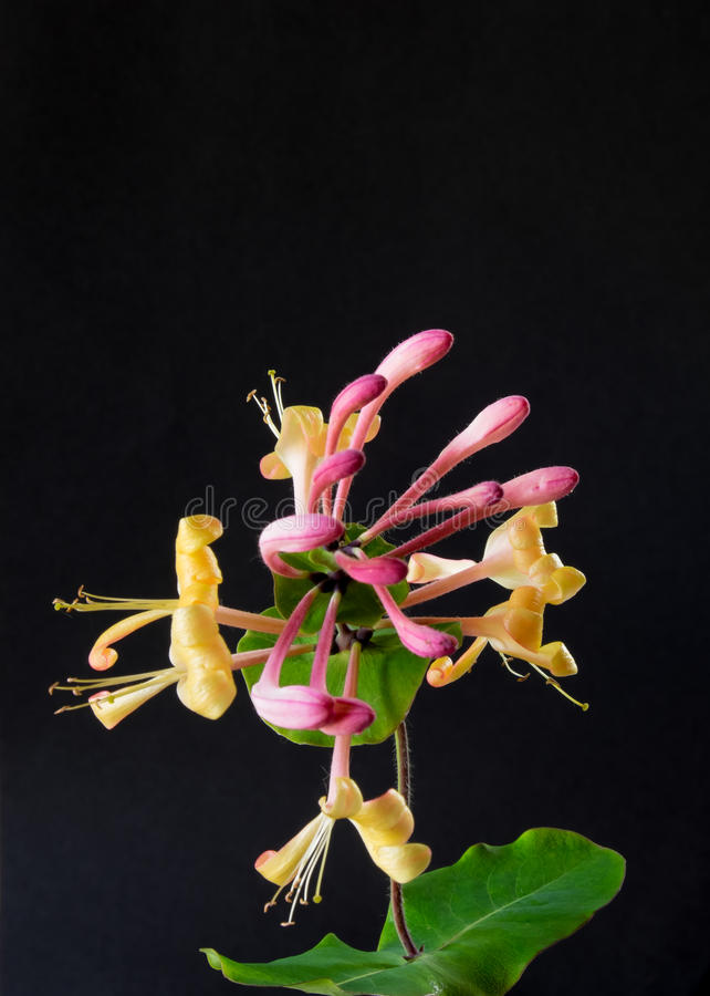 Honeysuckle Flower royalty-vrije stock foto