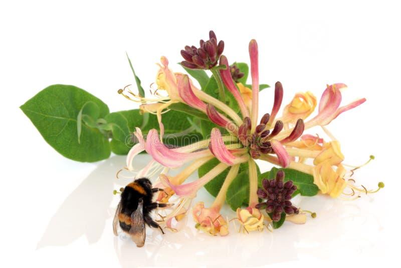 Honeysuckle Flower and Bee stock photo