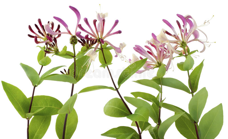 Honeysuckle flowers stock images