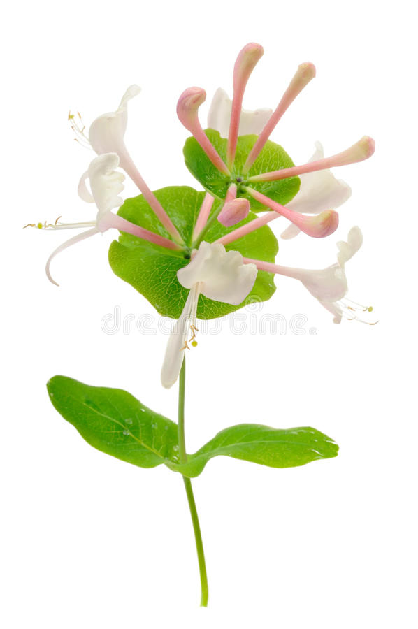 Honeysuckle Flowers royalty free stock photo