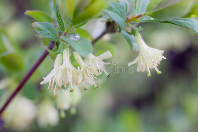 Honeysuckle flowers stock photography